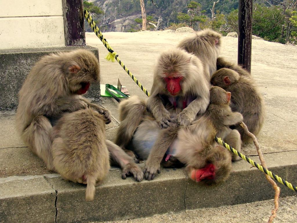 Miyajima - małpki.
