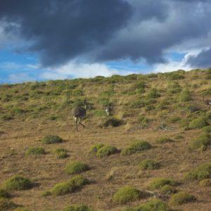 Nandu czyli strusie amerykańskie lub inaczej strusie pampasowe zamieszkują pustkowia Torres del Paine