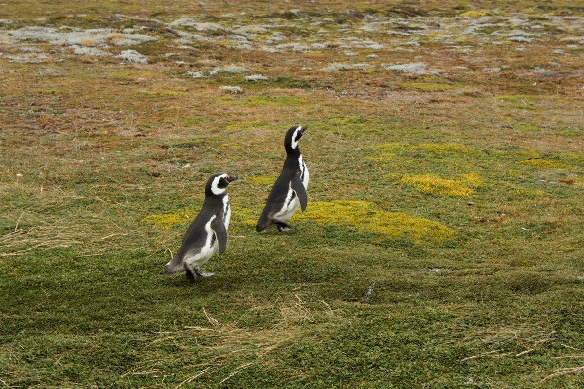 """Pingwiny magellańskie (łac. Spheniscus magellanicus). Ubarwienie czarno-białe. Głowa czarna, oprócz """"pętli"""" biegnącej od nasady dzioba przez boki szyi do gardła. Maksymalny wzrost do 71 cm"""