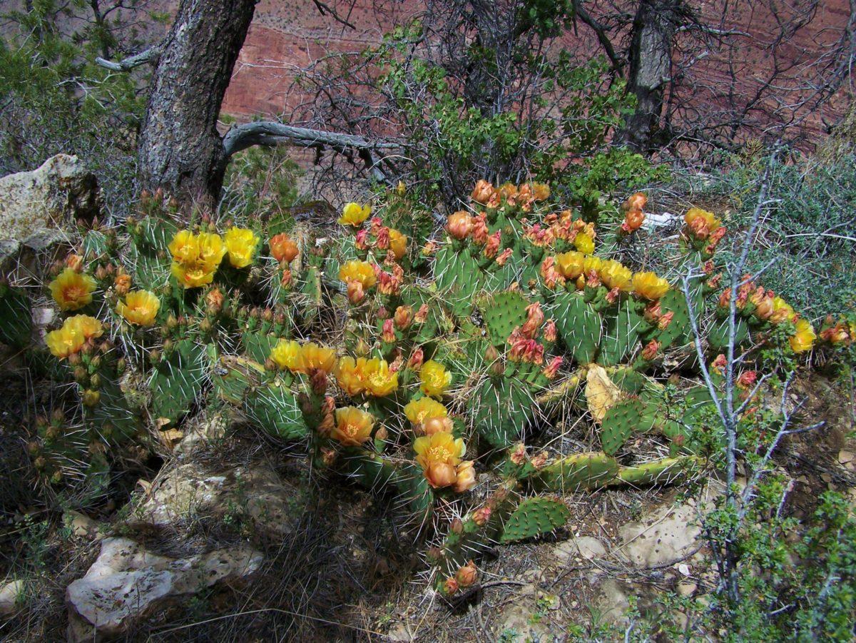 Kaktusy porastające zbocza Wielkiego Kanionu