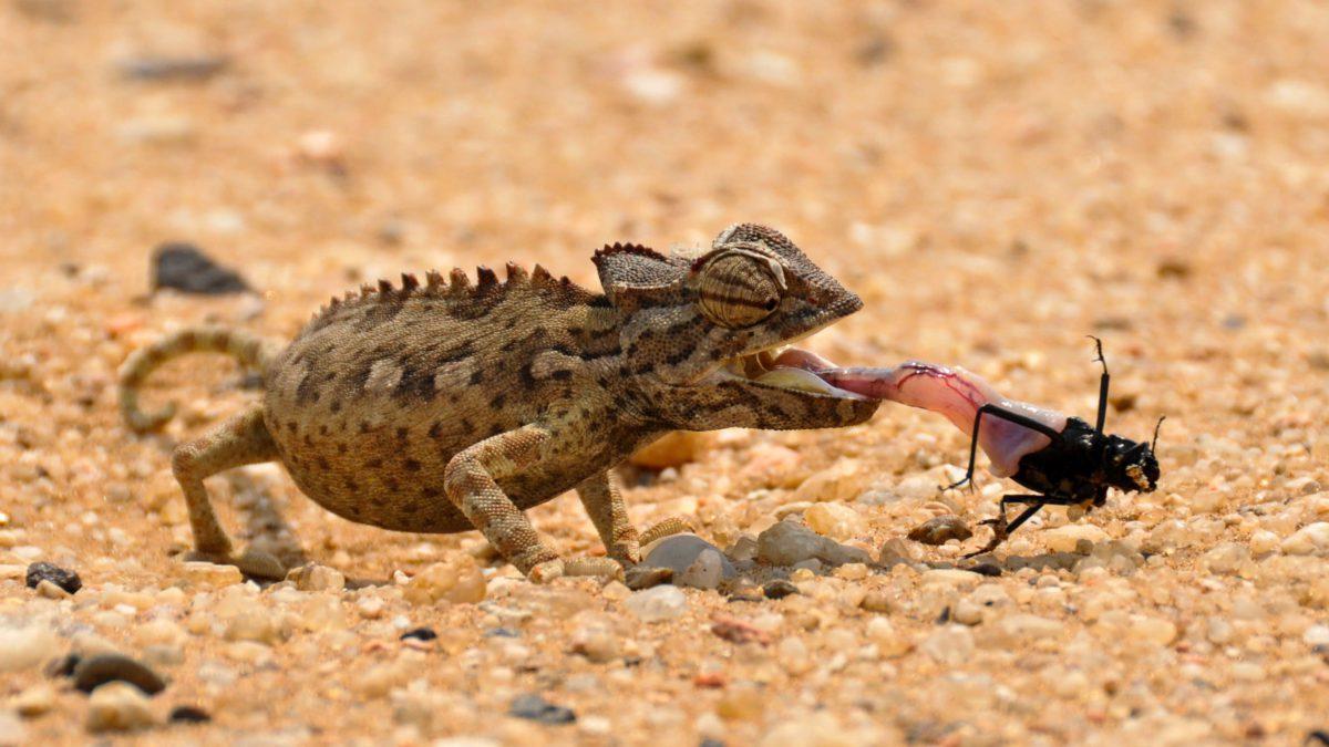 Kameleon Namaqua żyje głównie w zachodniej części Pustyni Namib. Ciało dorosłego osobnika mierzy około 25 cm