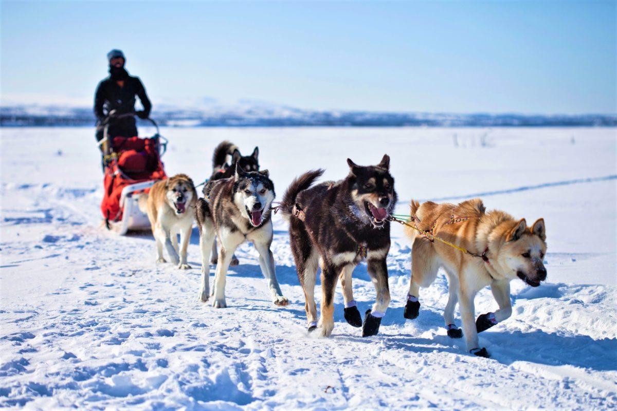 Laponia. Psie zaprzęgi dawno już przestały być głównym środkiem transportu, ale nadal są dużą atrakcją dla turystów