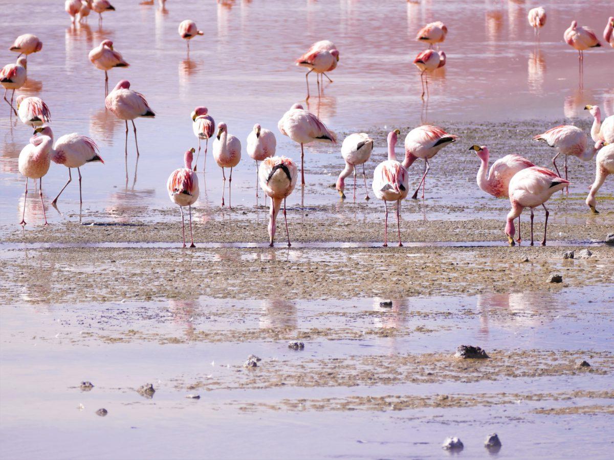 Częstymi gośćmi na Salar de Uyuni są różowe flamingi