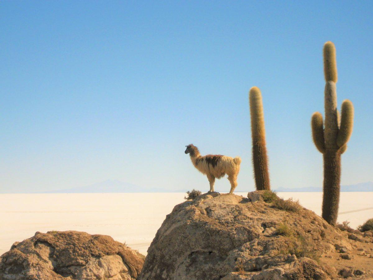 Wikunia andyjska to bliski krewny gwanaco i lamy
