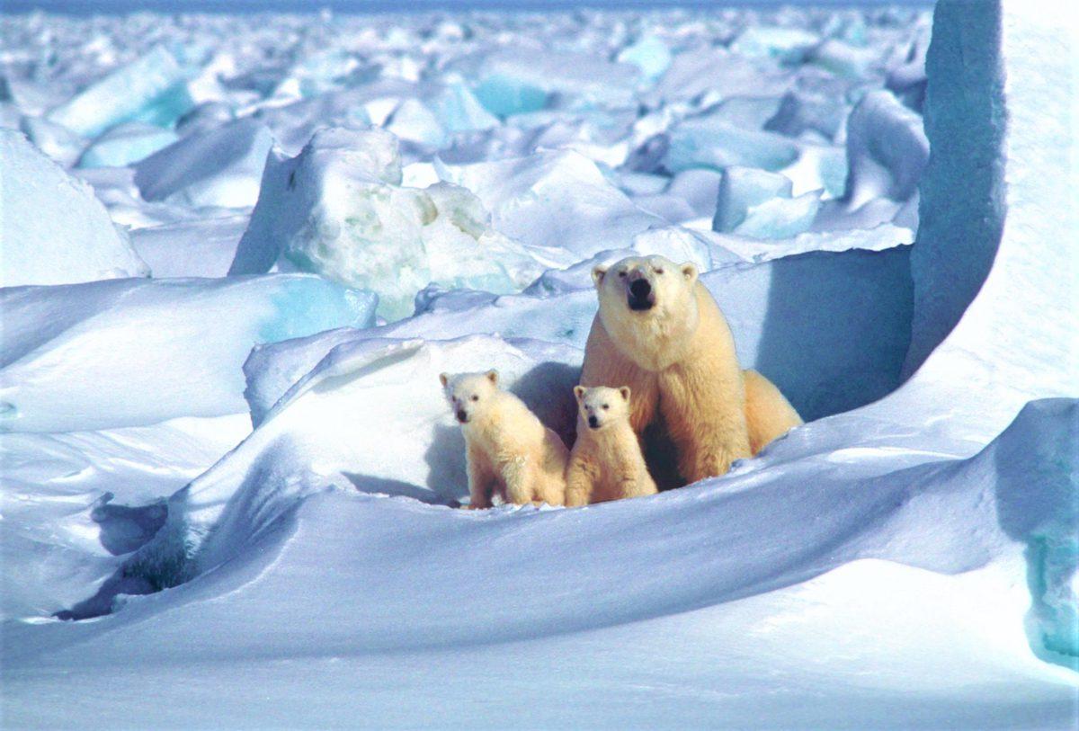 Dopiero po około trzech, czterech miesiącach od narodzin, niedźwiadki są gotowe na swój pierwszy w życiu spacer