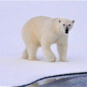 Niedźwiedzie polarne prowadzą samotny tryb życia łącząc się w pary jedynie w okresie godowym