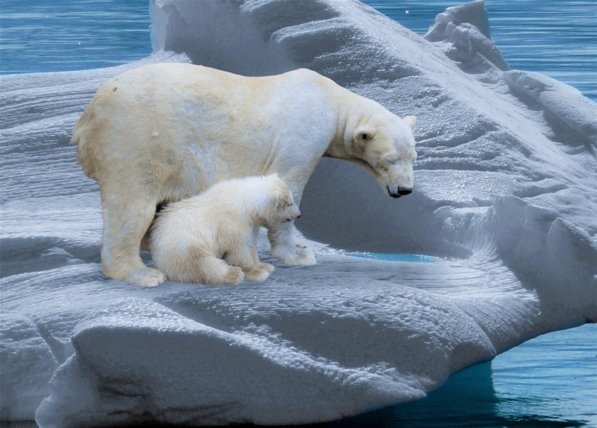 Młode niedźwiedzie polarne poprzez zabawy uczą się sztuki polowania na lądzie i w morzu