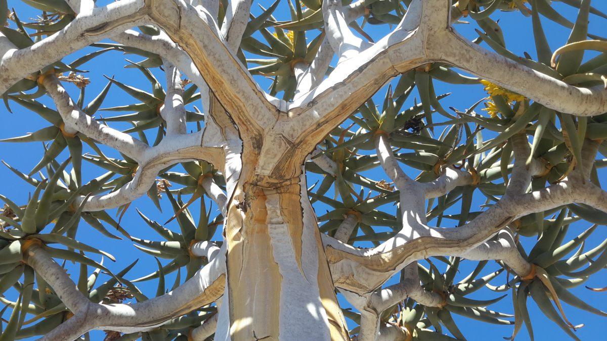 Drzewo kołczanowe z rodziny aloesowatych. Dorosłe osobniki mają około 9 metrów wysokości