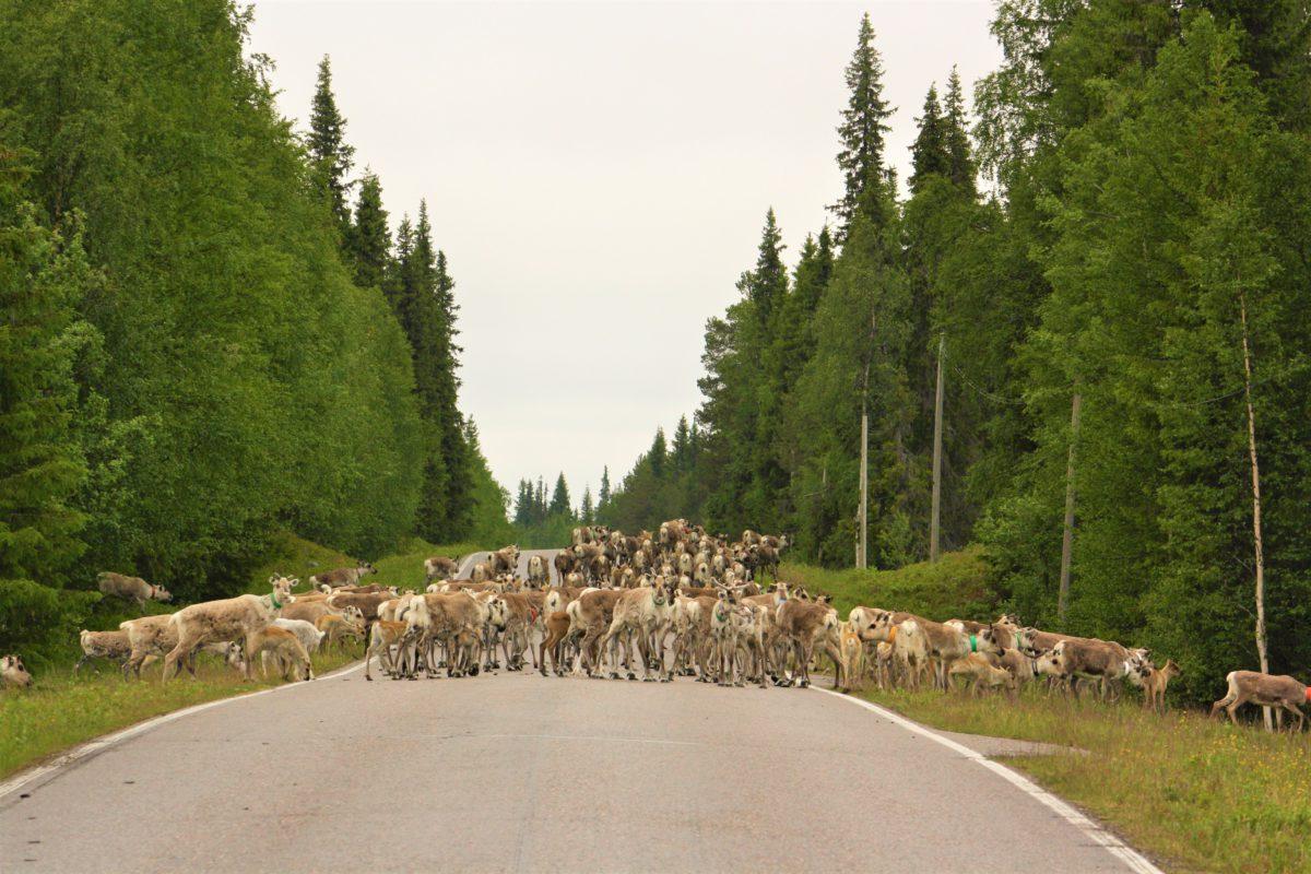Laponia. Stado reniferów zajmujące całą drogę to częsty widok dla kierowców