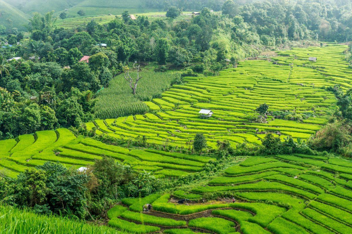 Ryżowe tarasy w północnej Tajlandii