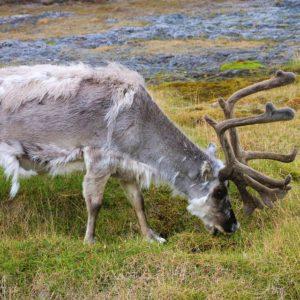 Żyjący na wyspach Svalbard renifer spitsbergeński o odrębny podgatunek reniferów